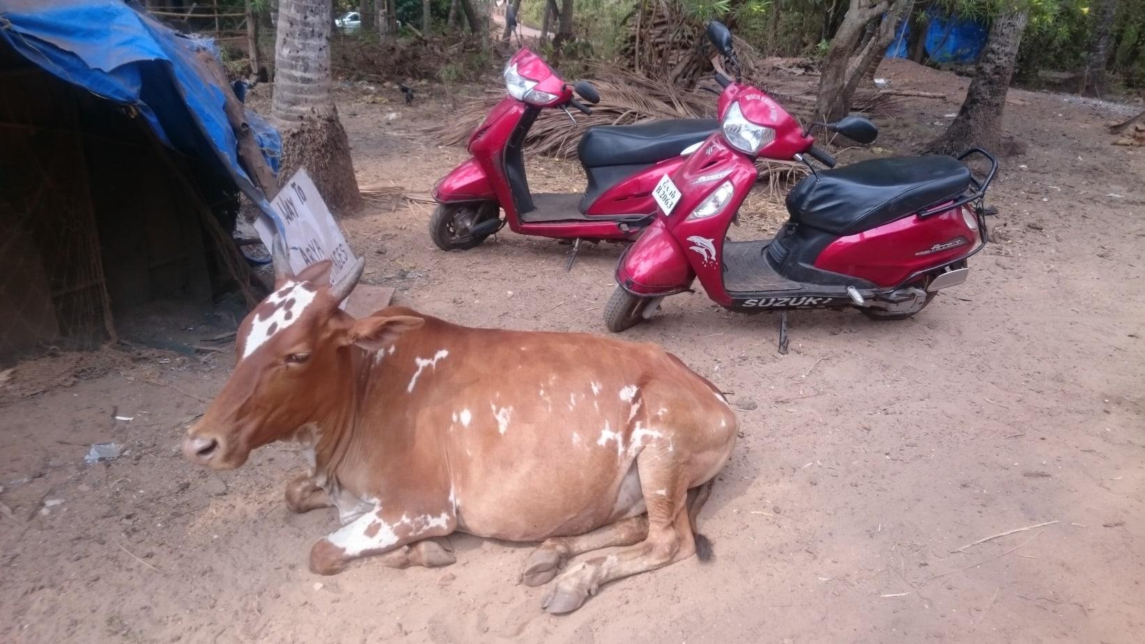 Cows Mumbai