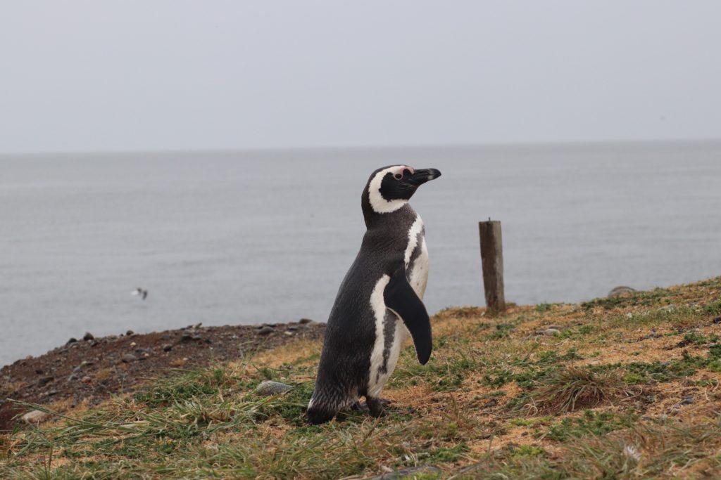 Magellanic Penguin Patagonia